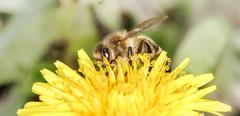 bee (Apis mellifera) - stock photo