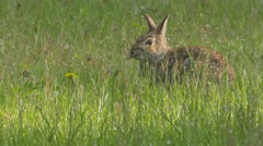 Eastern Cottontail (Sylvilagus floridanus). Stock Footage