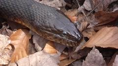 Northern Water Snake (nerodia sipedon) Arkistovideo