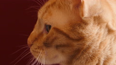 Cat on red background Stock Footage