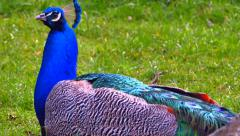 4K Resting Male Peacock in Bed of Flowers, Green Field Stock Footage