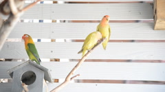 Pair of lovebirds sitting on a branch Stock Footage