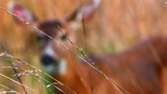 4K Grassy Field with Out of Focus Shot of White Tail Deer, Bokeh Stock Footage