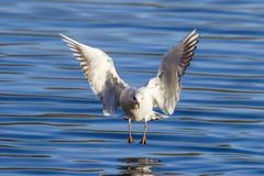 Black-headed gull (Chroicocephalus ridibundus) Stock Photos
