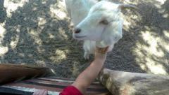 Kid touching Goat at Farm 4K UHD Stock Footage