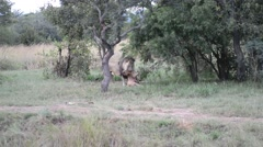 Lion choking and killings its prey Stock Footage