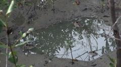 Mangrove Swamp Inhabitants Stock Footage
