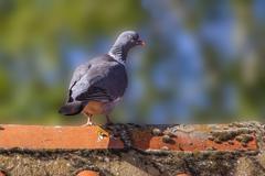 Wood Pigeon  (Columba palumbus) Stock Photos