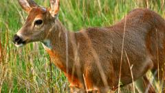 4K White Tail Deer, Female Doe in Meadow, Spring Day - stock footage
