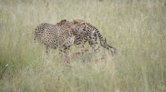 Two cheetahs eating their fresh catch, an impala Stock Footage
