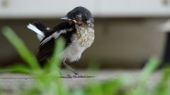Young injured oriental magpie-robin Stock Footage