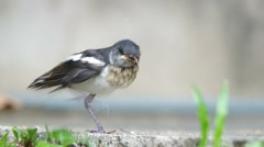 Young oriental magpie-robin calling the parent Stock Footage