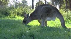Sliding Kangaroo - stock footage