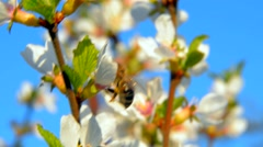 Bee pollinating flowering trees Stock Footage