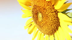 Close up bee working on sunflower in the morning Stock Footage
