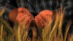 Harvest, wheat field, Close up of the hands of a man who drops the seeds - stock footage