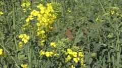 Yellow rape seed field in spring Stock Footage