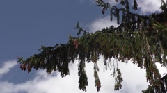 Spruce with lots of cones Stock Footage
