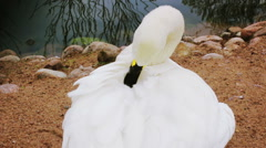 White swan cleans feathers Stock Footage