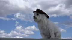 4K Wind Gust Blows Hat Off Maltese Dog Head Blue Sky Clouds Background Stock Footage