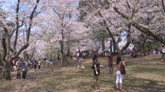 Diverse crowds of people admiring cherry blossoms sakura in high park in Toronto Stock Footage