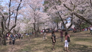 Stock Video Footage of Diverse crowds of people admiring cherry blossoms sakura in high park in Toronto