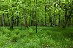 Shady deciduous stand of Bialowieza Forest in springtime Stock Photos