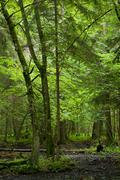 Stock Photo of Wet deciduous stand of Bialowieza Forest