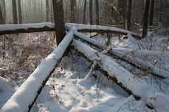 Winter landscape of natural forest with dead alder tree Stock Photos