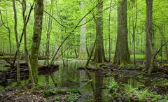 Springtime deciduous forest with standing water Stock Photos