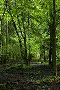 Wet deciduous stand of Bialowieza Forest in sunlight Stock Photos