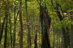 Natural mainly deciduous stand of Bialowieza Forest - stock photo
