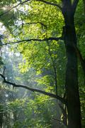 Sunbeams entering deciduous stand - stock photo