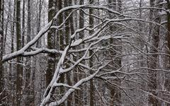 Alder tree branches snow wrapped Stock Photos