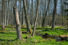 Riparian stand of Bialowieza Forest along stream Stock Photos