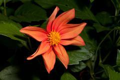 Single orang Dahlia flower closeup Stock Photos