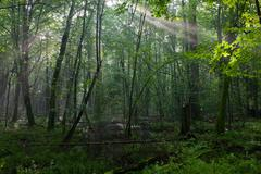Summer midday with light entering rich deciduous stand - stock photo