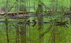 Springtime wet deciduous forest with standing water - stock photo