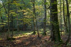 Morning sun entering deciduous stand - stock photo