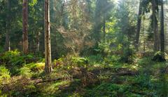 Autumnal morning with sunbeams entering forest - stock photo