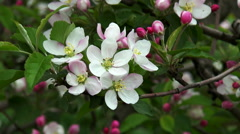 Blossoming apple. Branch of apple tree in bloom in the spring. Stock Footage