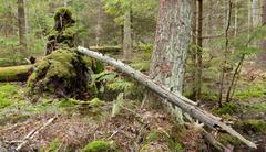 Broken tree roots partly declined inside coniferous stand - stock photo