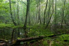 Summer midday in wet deciduous stand of Bialowieza Forest Stock Photos