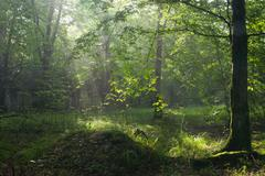 Summer morning with mist and light in forest Stock Photos
