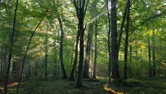 Sunrise light entering old deciduous stand - stock photo