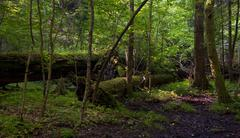 Monumental broken oak lying - stock photo