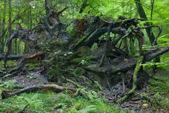 Broken tree roots partly declined - stock photo