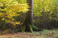Light reaching deciduous stand with old spruce tree - stock photo