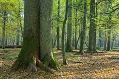Very old deciduous stand in autumn - stock photo