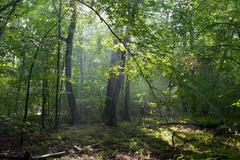 Misty deciduous stand in morning - stock photo